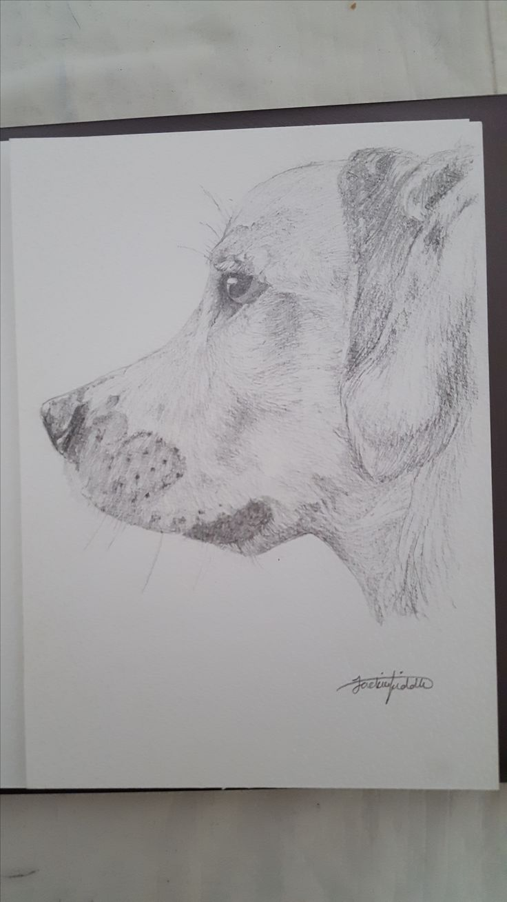 Bailey the Golden retriever drawing