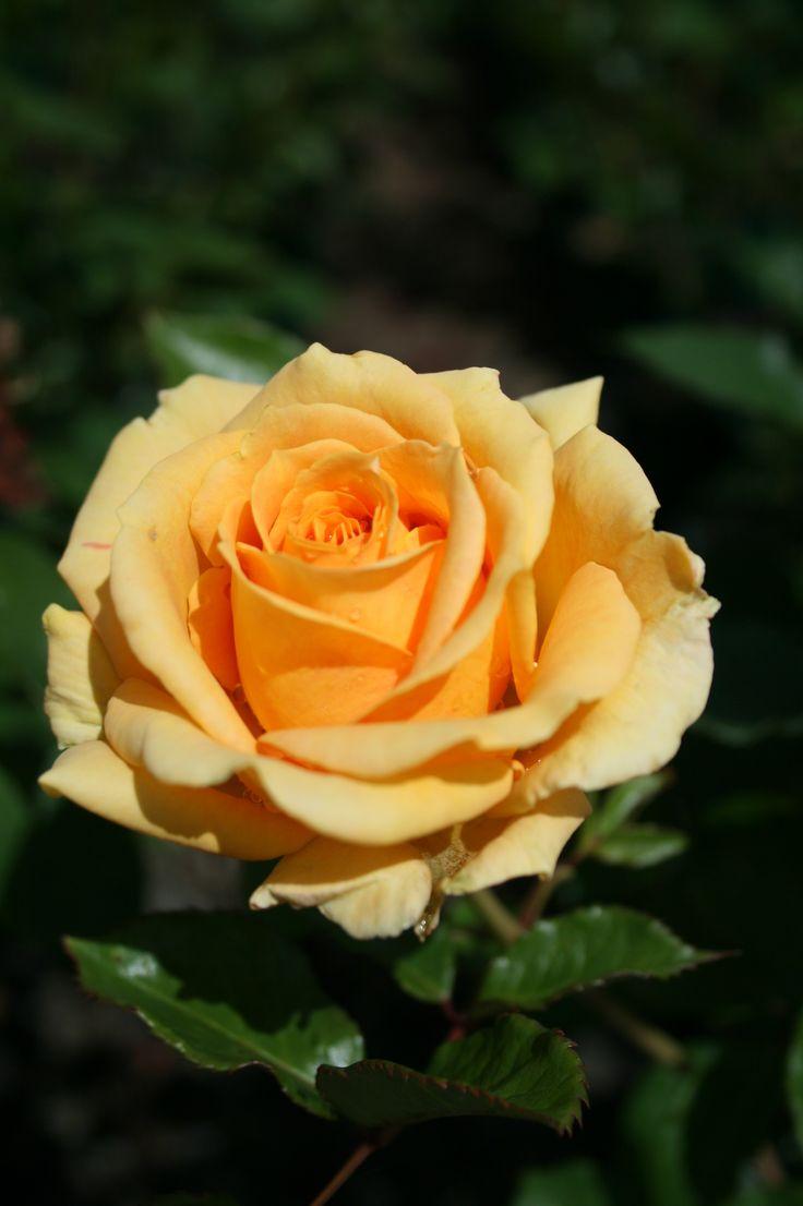Long stemmed rose (Hybrid Tea) 'Shooting Star'