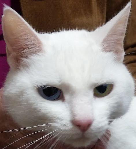 Måste bara visa upp en liten kattfröken som kom in för kastration till mig. Visst är hon vacker-kolla in ögonen!