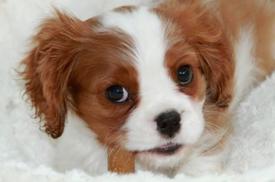10 things to know about the Cavalier King Charles Spaniel