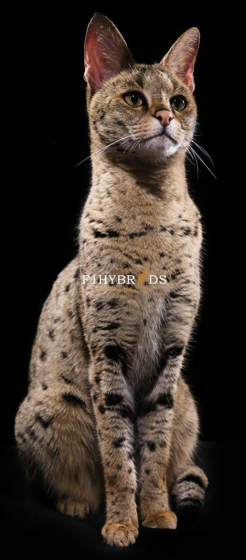 F1 Savannah Cat                                                       …