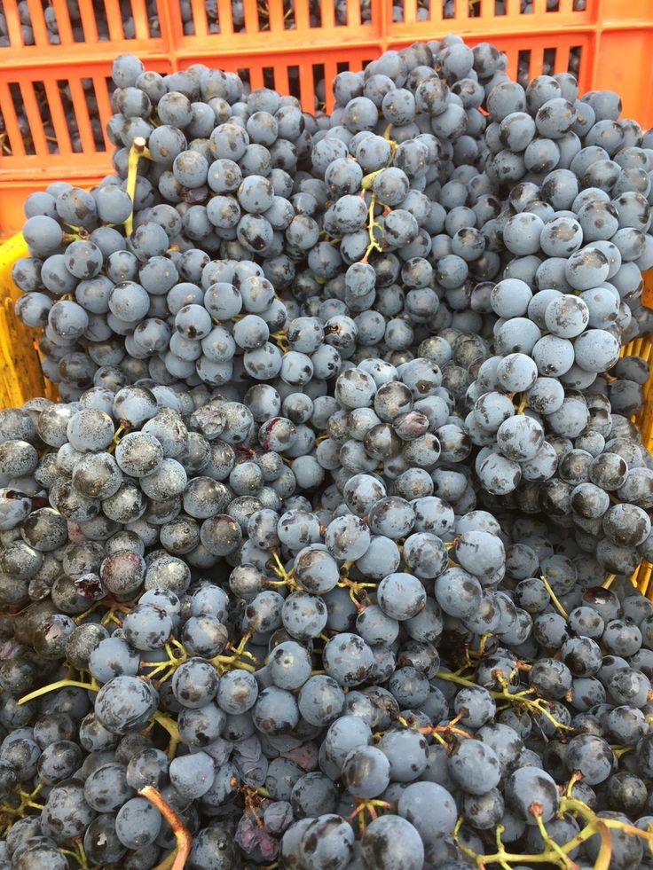 Lambrusco Grasparossa di Castelvetro DOP Grapes