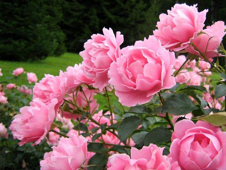 Resultado de imagen de imagenes peonia rosa