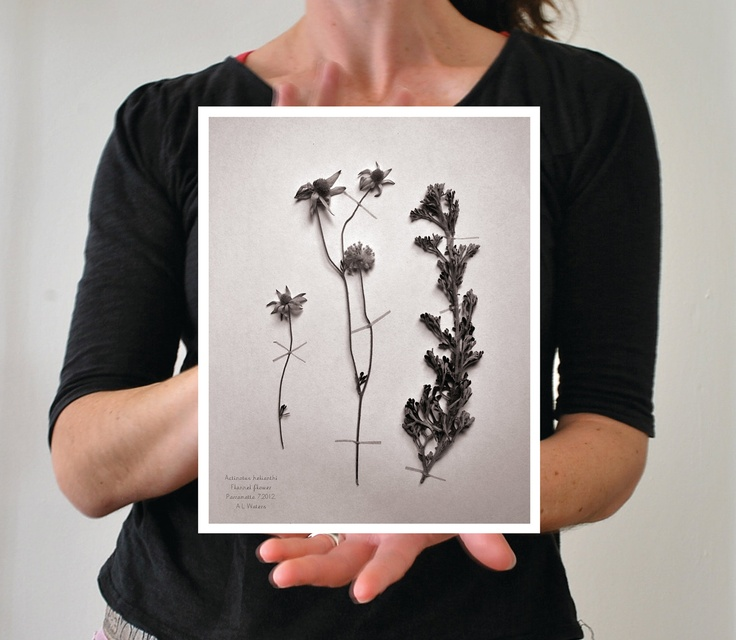 Flannel flower photograph botanical print 8x10 with white border. $35.00, via Etsy.