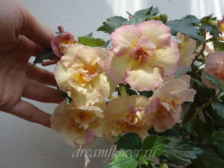 "Ахименес ""Yellow English Rose"""
