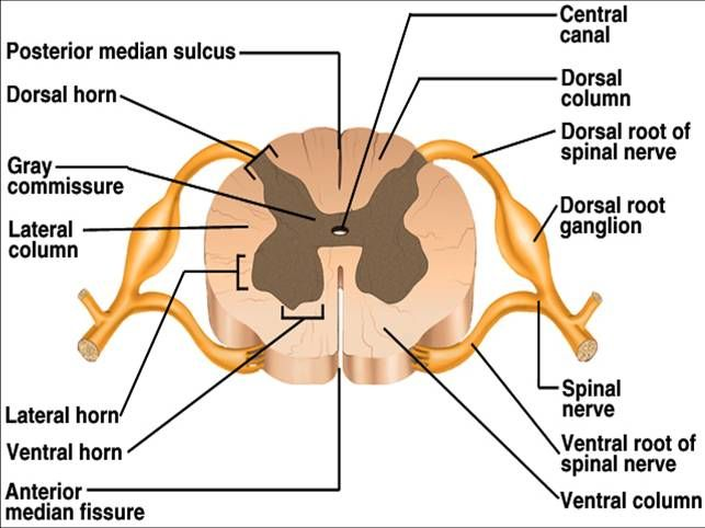 The white matter surrounds the gray matter on the outer cortex of the cord.  It