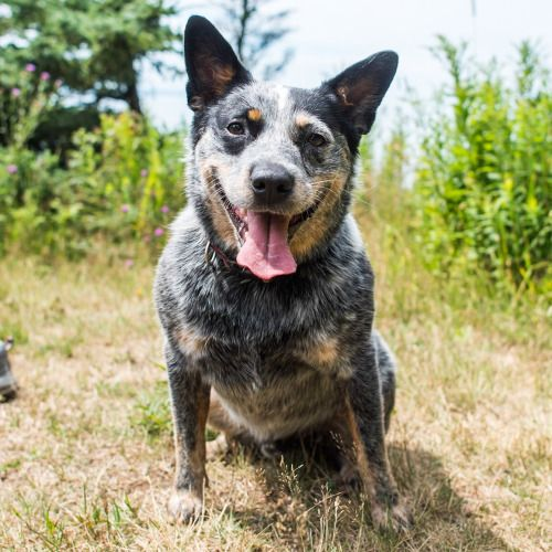 The Dogist Australian cattle dog, Dogs, Rescue dogs