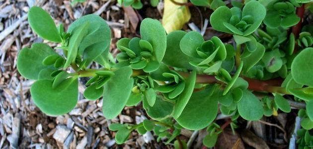نبات الرجلة يسم يها البعض بنبات البقلة وهي عبارة عن نوع من أنواع الخضراوات التي تتم إضافتها إلى النظام الغذائي سواء مع الطعام المطهي أو الشوربات Plants Benefit