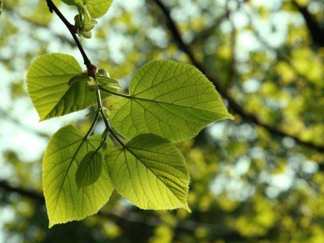 Tree - Wikipedia