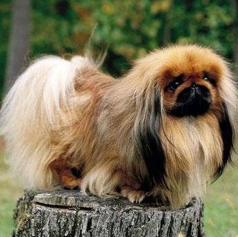 Crested Peke - Adult & Puppy Pictures, Size, & Temperament