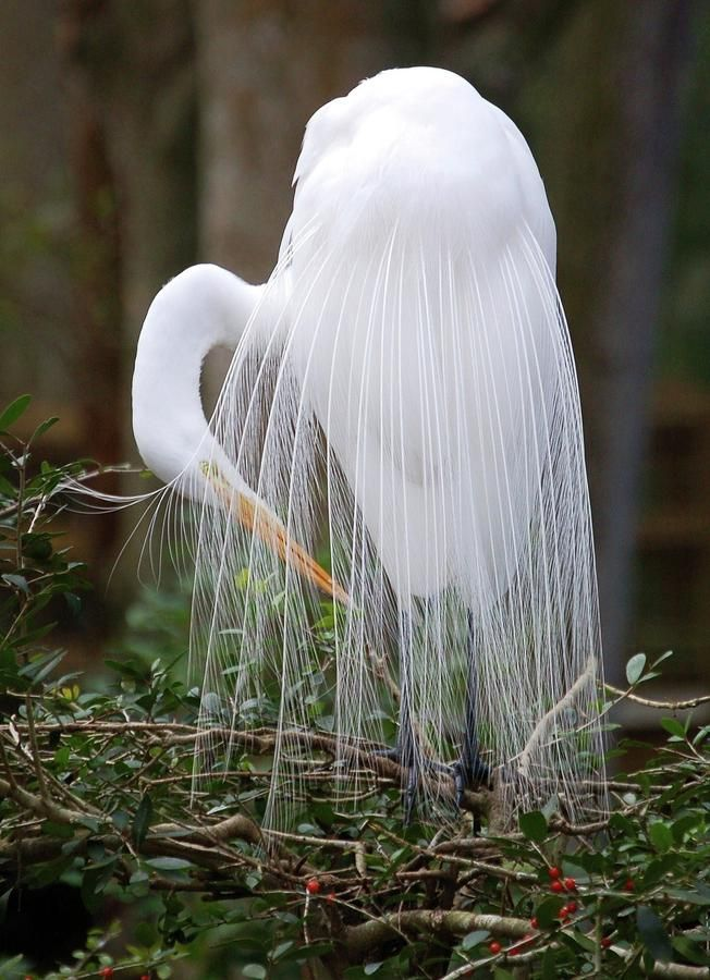Egret grooming. These birds were almost shot into extinction in the early 1900's simply for their beautiful feathers that were popular on women's hats.