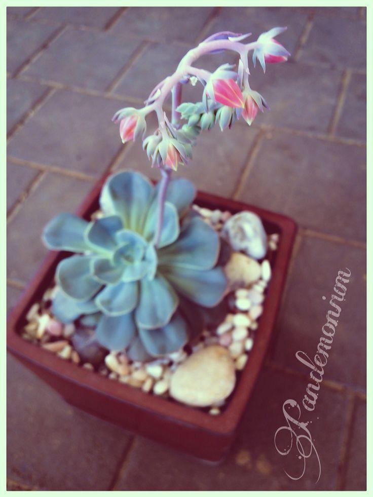 Echeveria imbricata in flower