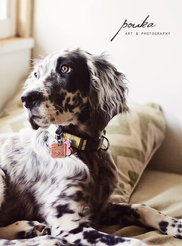 English Setter puppy dog. Pet portrait photography.
