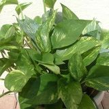 Golden Pothos Vine (Epipremnum pinnatum): LOW LIGHT