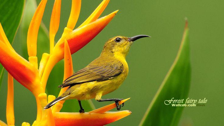 Sunbird and Olive – 1080p HD Wallpaper Widescreen