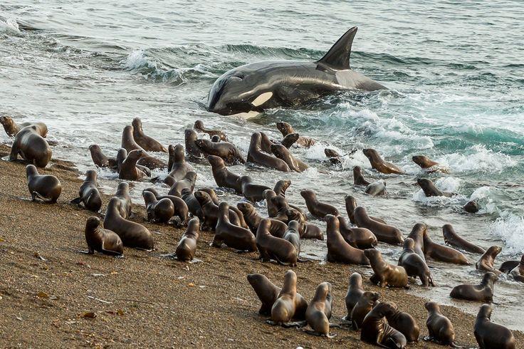 Elefantes Marinos y orcas en Península Valdés, Argentina