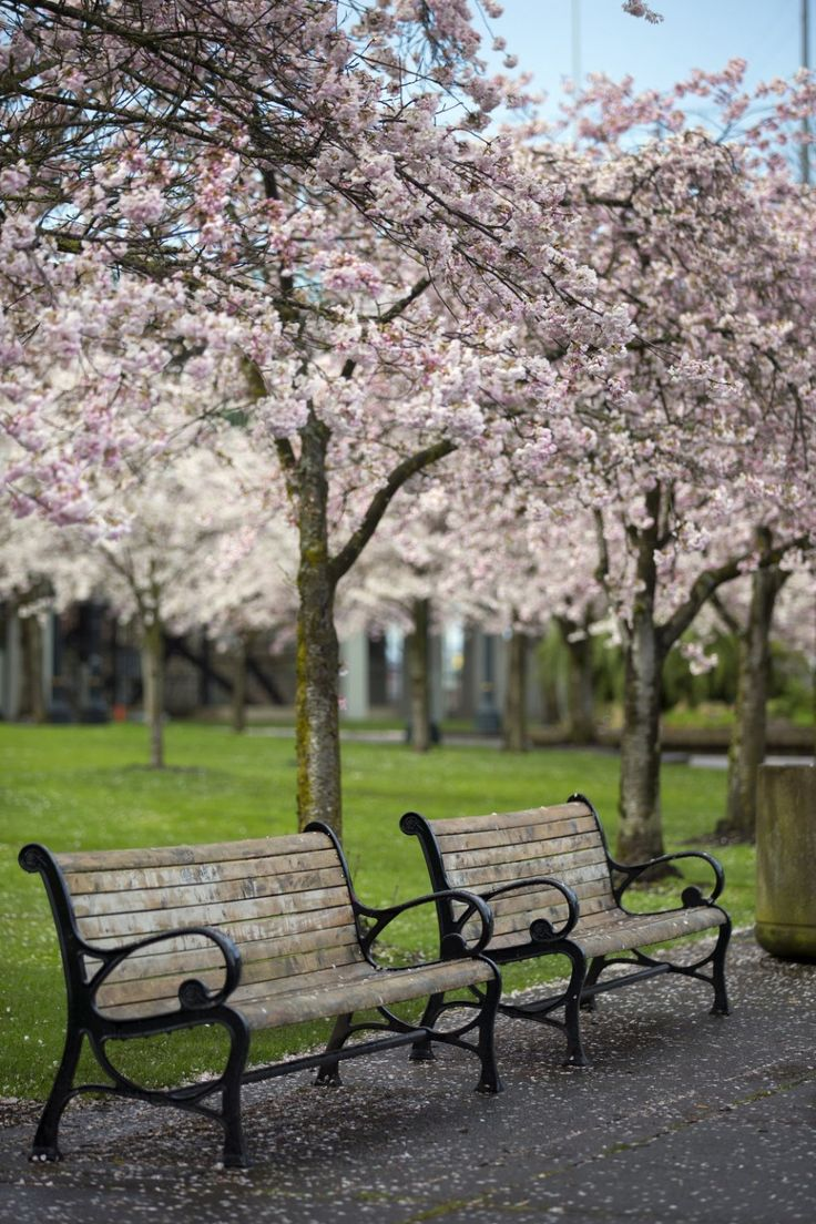 The cherry trees are in full bloom along Portland's Tom McCall Waterfront Park