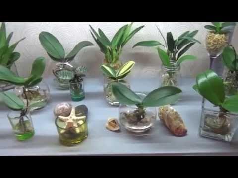 Орхидеи в воде - моя коллекция-моя ЛЮБОВЬ!!!Часть 1.(Semi water culture) - YouTube