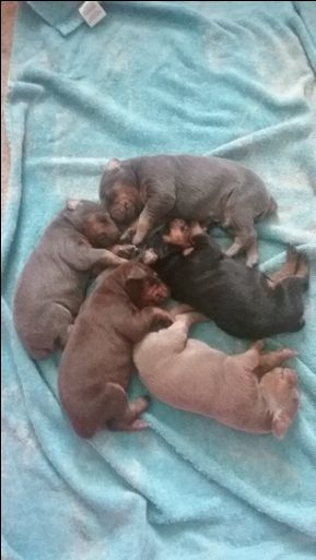 Litter of 5 Doberman Pinscher puppies for sale in AMERICUS, GA. ADN-39470 on PuppyFinder.com Gender: Male(s) and Female(s). Age: 3 Weeks Old
