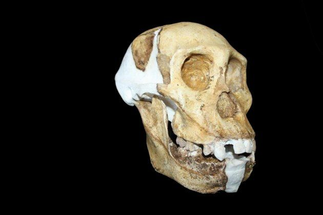 This undated image provided by Lee R. Berger and the University of the Witwatersrand shows a reconstructed skull and jaw of Australopithecus sediba. The newly-studied species lived some 2 million years ago, and it both climbed in trees and walked upright. Scientists are getting a more comprehensive look at the extinct South African creature with an intriguing mix of human-like and primitive traits, but scientists say they still haven't pinned down where it fits on our evolutionary family…