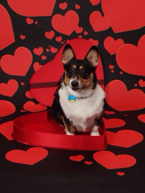The Daily Corgi: Happy Valentines Week    Day Three!