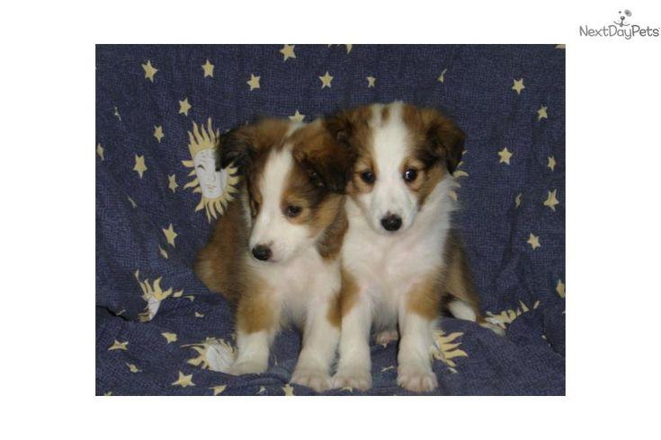 SHELTIE $599 (EMPIRE PUPPIES)   Shetland Sheepdog - Sheltie puppy for sale near New York City, New York   6976d378-b621
