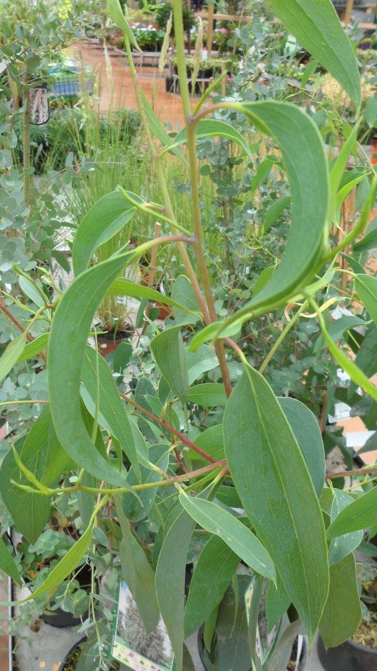 Eucalyptus niphophila dit gommier niphophila ou l'eucalyptus des neiges pot 5L 60/80cm - JARDIPLANTE