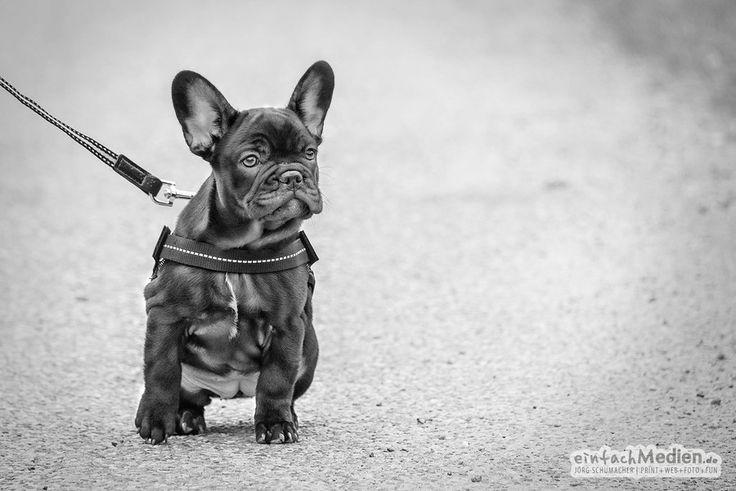 Baby dog /Baby Hund - Französische Dogge by Jörg Schumacher   EinfachMedien.de on 500px