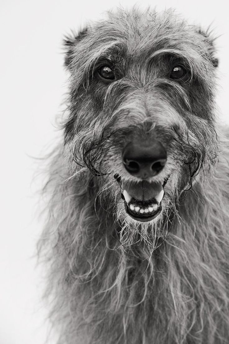 Now that's a beautiful smile! Deerhound 1 - Scottish Deerhound