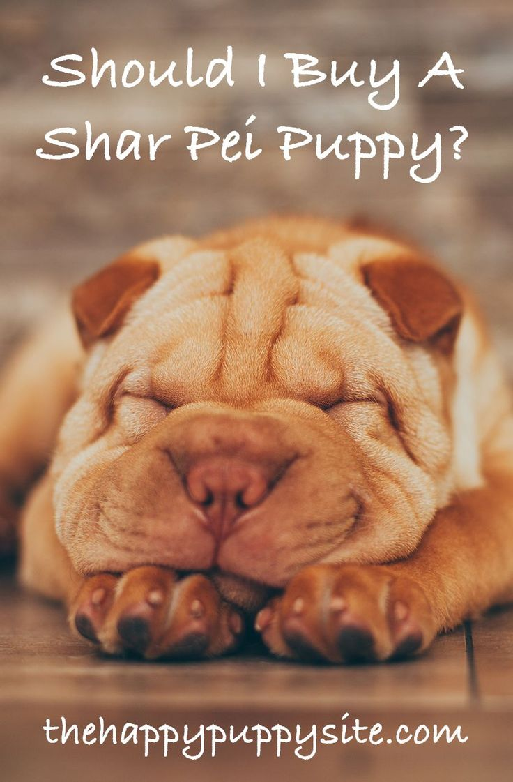 Shar Pei puppies are adorable. But are Shar Pei breeders doing a disservice to the animals they adore? We look at the moral implications of buying a puppy with exaggerated features.