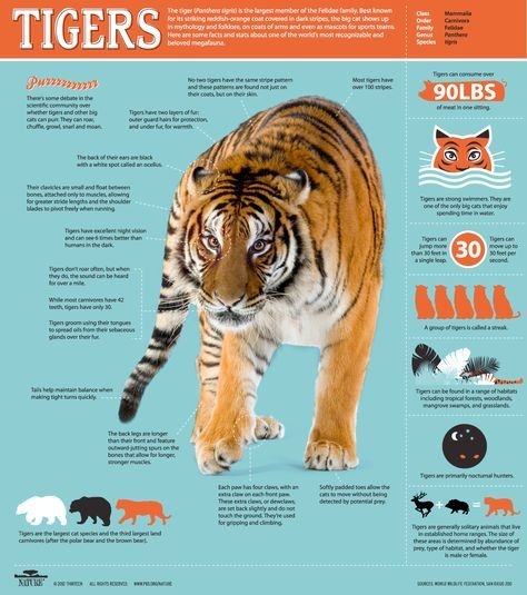 Awesome Infographic for World Cat Day: All About Tigers  The tiger (Panthera tigris) is the largest member of the Felidae family. Best known for its striking reddish-orange coat covered with dark stripes, the big cat shows up in mythology and folklore, on coats of arms and even as mascots for sports teams. Here are some facts and stats about one of the world's most recognizable and beloved megafauna.