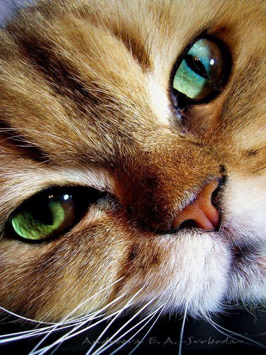 green-eyed cat close-up