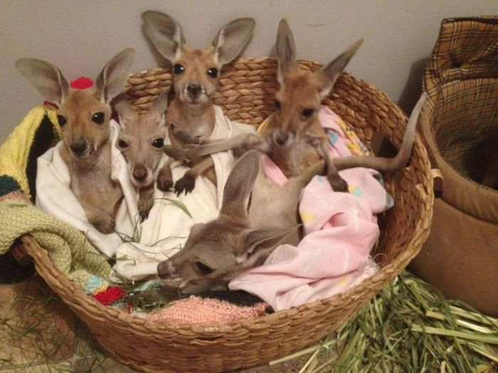 ... 'Brolga' Barnes, the top Aussie bloke who has become a surrogate mother to orphaned kangaroos. Pictured: Baby kangaroos are kept together to bond and ...