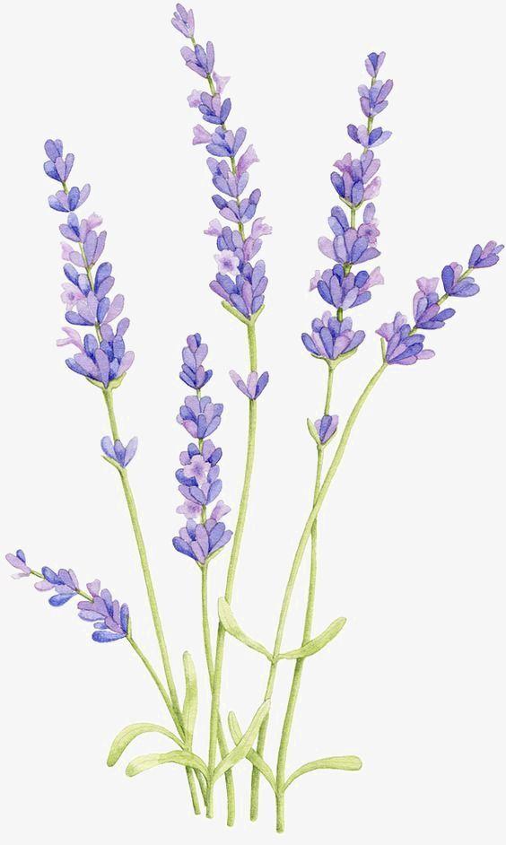 Lavendel, handgemalt, Zeichnung, Aquarell-PNG-Bild und Clipart – Carinne