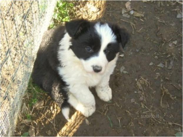 cane-border-collie-vendiamo-i-cuccioli-di-border