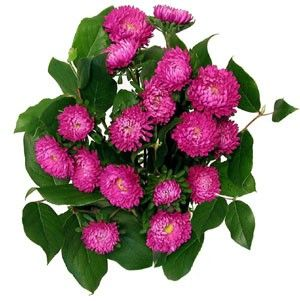 http://www.amazoniaflowers.com/assets/images/matsumoto%20aster.jpg