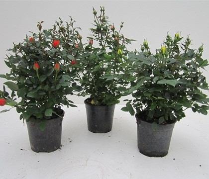 ROSA MINI DIAM.15  Florpagano di Antonio Pagano (piante e fiori) www.florpagano.com