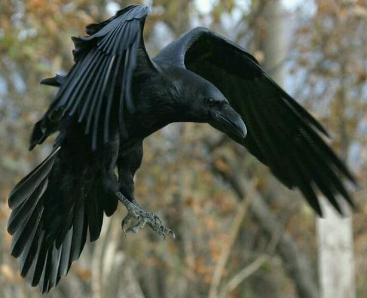 Raven Flight nude 536
