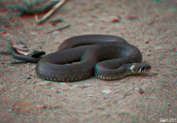 Grass snake 3D Anaglyph photo (Red-Cyan)