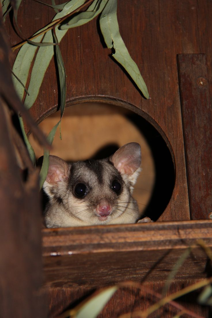 We think that 3 year old Squirrel Glider, Yianni, is pretty cute!  Squirrel Gliders take shelter in tree hollows during the day and will come out only at night. They have large light sensitive eyes which allow for increased night vision. They have been known to glide up to 50 metres over flat terrain, and up to 100 metres when there is a downhill slope!   www.zoo.org.au
