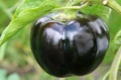 CAPSICUM Purple Beauty Compact plants with thick protective leaves, thick walled fruits, crisp and sweet. for my edible goth garden
