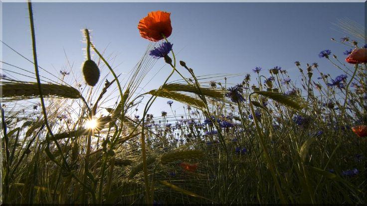 Mező, virágok