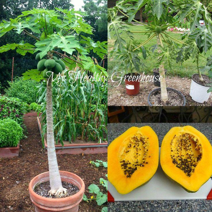 Seeds Self Pollinating Dwarf Papaya Tree Tr Hovey