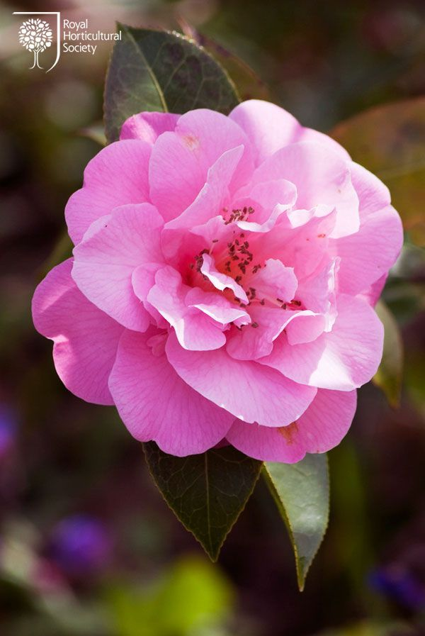 Royal Horticultural Society Rhs Flower Camellia Williamsii Camellia Flower Beautiful Flowers Pink Flowers