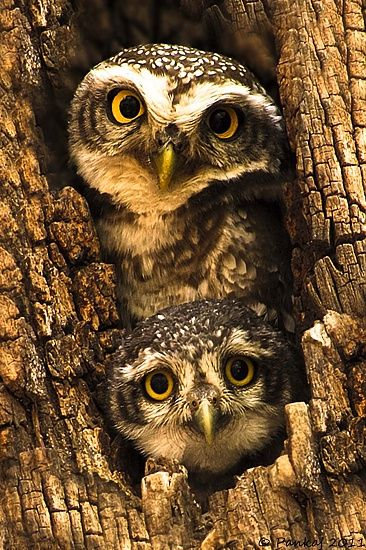 Spotted Owlet (Athene brama) fledgling peeping curiously under the careful eyes of mother...