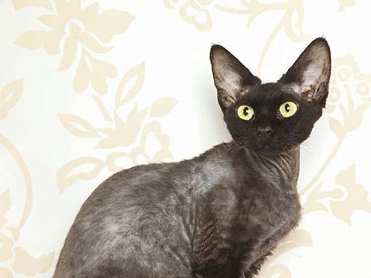 Hypoallergenic Cats With Dog Like Personalities