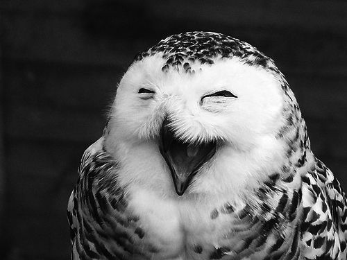 : Animals, Happy Owl, Funny, Smile, Laughing Owl, Birds, Owls, Funnie