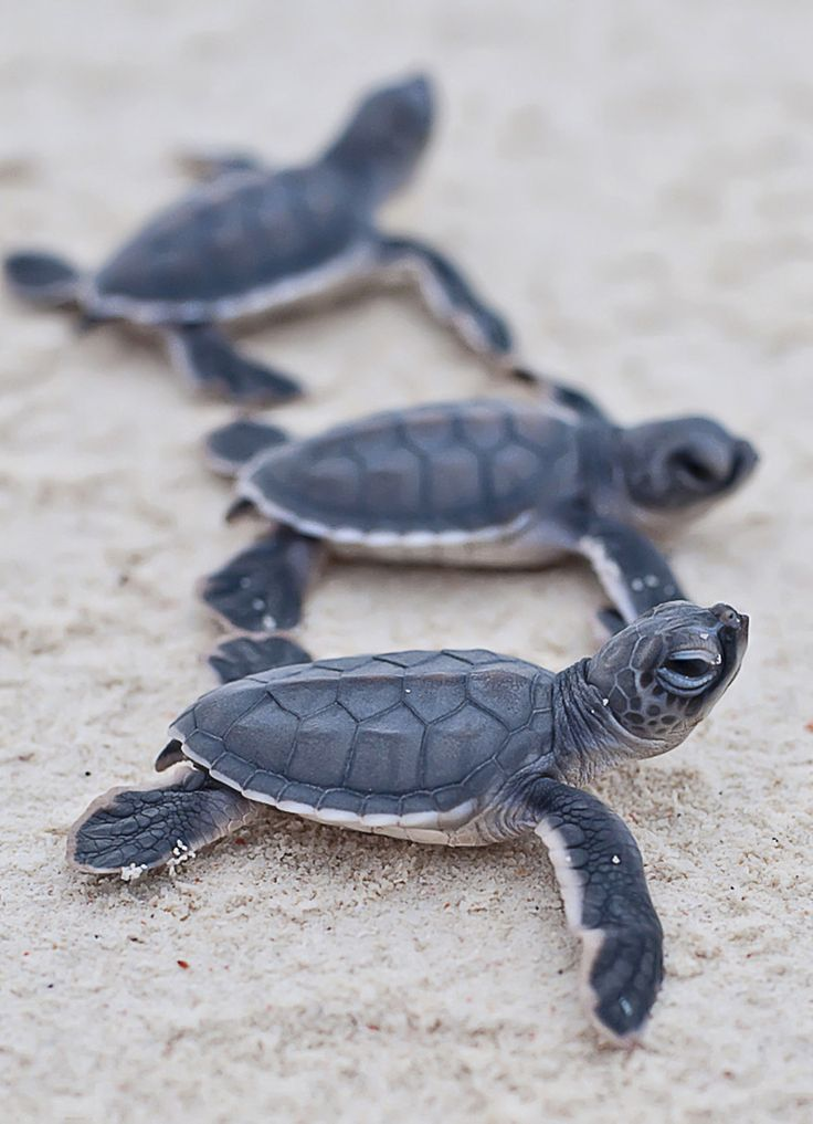 Cute baby sea turtles in the water - photo#21