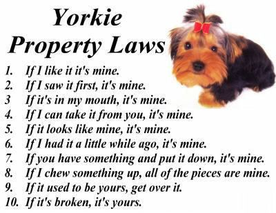 Yorkie humor- truth about being a yorkie owner