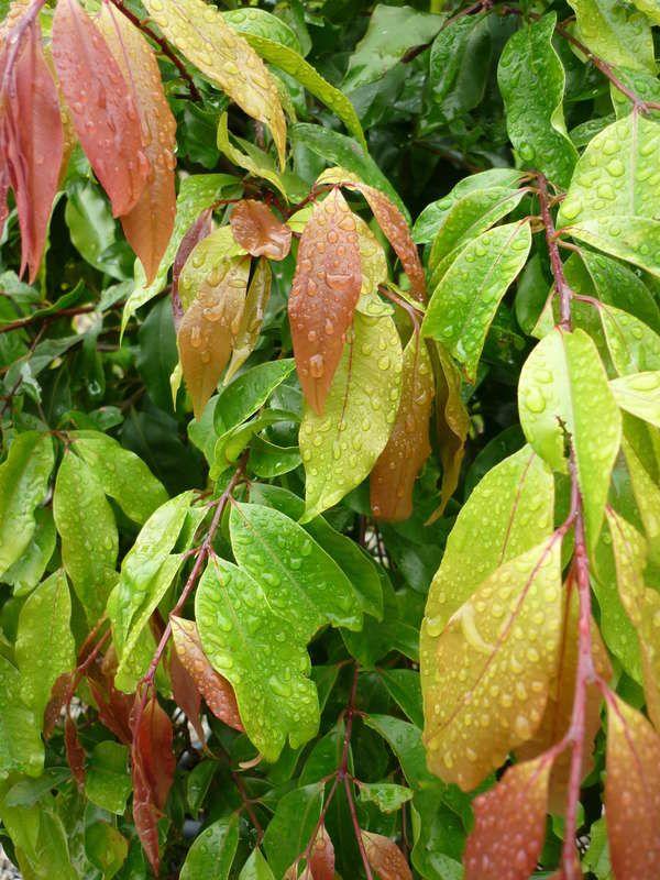 Waterhousea floribunda 'Warners Selection' — Warners Nurseries